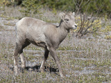 Bighorn Sheep Lamb (Ovis Canadensis) Banff National Park, Alberta, Canada Photographic Print by Hal Beral