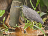 Striated Heron (Butorides Striatus) Perched, Napo River, Amazonian Ecuador Photographic Print by Glenn Bartley
