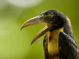 Collared Aracari (Pteroglossus Torquatus), Costa Rica Photographic Print by Gregory Basco