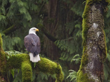 Bald Eagle (Haliaeetus Leucocephalus) Perched on a Branch, Victoria, BC, Canada Photographic Print by Glenn Bartley