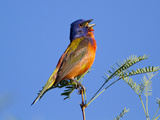 Painted Bunting (Passerina Ciris) Male Singing, Big Bend National Park, Texas, USA Photographic Print by John Abbott