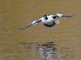Male Bufflehead (Bucephala Albeola) Flying, Victoria, BC, Canada Photographic Print by Glenn Bartley