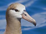 Black-Footed Albatross Head (Phoebastria Nigripes), Washington, USA Photographic Print by Glenn Bartley