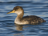 Red-Necked Grebe (Podiceps Grisegena) Swimming in the Ocean, Victoria, British Columbia, Canada Photographic Print by Glenn Bartley