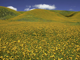 Fiddleneck (Amsinckia) Spring Wildflowers, Lost Hills, California, USA Photographic Print by David Cobb