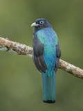Amazonian White-Tailed Trogon (Trogon Viridis) Perched on a Branch Near the Napo River Photographic Print by Glenn Bartley
