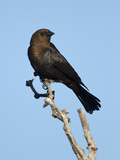Brown-Headed Cowbird (Molothrus Ater) Male, Texas, USA Photographie par John Abbott