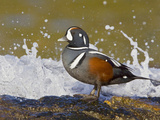 Harlequin Duck (Histrionicus Histrionicus) Perched on a Rock Near Crashing Surf, Victoria Photographic Print by Glenn Bartley