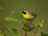 Male Common Yellowthroat (Geothlypis Trichas) Photographic Print by John Abbott
