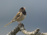 A Dark-Eyed Junco (Junco Hyemalis) Singing on a Branch in Victoria, British Columbia, Canada Photographic Print by Glenn Bartley