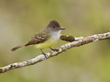 Dusky-Capped Flycatcher (Myiarchus Tuberculifer) Perched on a Branch, Napo River Photographie par Glenn Bartley