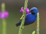 Shining Honeycreeper, Costa Rica Photographic Print by Glenn Bartley