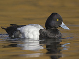 Lesser Scaup (Aythya Affinis) Swimming in a Lagoon in Victoria, British Columbia, Canada Photographic Print by Glenn Bartley