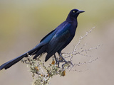 Great-Tailed Grackle (Quiscalus Mexicanus) Perched on a Branch in South Texas, USA Photographie par Glenn Bartley