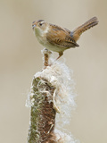 Marsh Wren (Cistothorus Palustris) Perched on a Cattail in a Marsh, Victoria, BC, Canada Photographic Print by Glenn Bartley