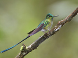 Long-Tailed Sylph (Aglaiocercus Kingi) Perched on a Branch, Papallacta Pass in the Highlands Photographic Print by Glenn Bartley