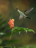 Green-Crowned Brilliant Feeding on Nectar from a Costus Flower (Heliodoxa Jacula), Costa Rica Photographic Print by Gregory Basco