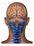 Biomedical Illustration of the Human Brain Superimposed on the Head and Skull Giclee Print by Scott Camazine