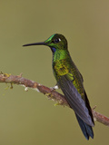 Green-Crowned Brilliant (Heliodoxa Jacula) Perched on a Branch, Tandayapa Valley, Ecuador Photographic Print by Glenn Bartley