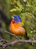 Painted Bunting (Passerina Ciris) Male, Big Bend National Park, Texas, USA Photographic Print by John Abbott