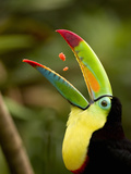 Keel-Billed Toucan Swallowing Pieces of Fruit in its Open Mouth (Ramphastos Sulfuratus), Costa Rica Photographie par Gregory Basco