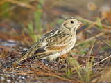 Lapland Longspur (Calcarius Lapponicus) in Victoria, British Columbia, Canada Photographic Print by Glenn Bartley