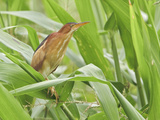 Least Bittern (Ixobrychus Exilis) Perched on a Leaf in the Napo Valley in Amazonian Ecuador Photographic Print by Glenn Bartley