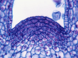 Longitudinal Section of a Coleus Stem Apex or Meristem, LM X400 Photographic Print by Jack Bostrack
