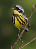 Magnolia Warbler (Dendroica Magnolia) Singing, Ontario Canada Photographic Print by Glenn Bartley