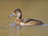 Female Ring-Necked Duck (Aythya Collaris) Swimming on a Pond Near Victoria, BC, Canada Photographic Print by Glenn Bartley