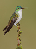 Andean Emerald Hummingbird (Amazilia Franciae) Perched on a Branch Photographic Print by Glenn Bartley