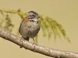 Rufous-Collared Sparrow (Zonotrichia Capensis) Perched on a Branch, Jerusalem Reserve Photographic Print by Glenn Bartley