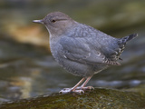 American Dipper (Cinclus Mexicanus) Near a Stream in Victoria, British Columbia, Canada Photographic Print by Glenn Bartley