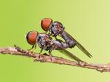 Mating Flies Photographic Print by Tan Chuan-Yean
