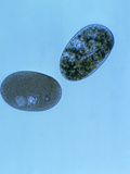 Nassula Aurea Ciliate Protozoa, LM X150 Photographic Print by Tom Adams