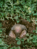 Eastern Mole (Scalopus Aquaticus) Emerging from Tunnel Photographic Print by Ken Catania