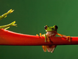 Parachuting Leaf Frog (Agalychnis Saltator), Costa Rica Photographic Print by Gregory Basco