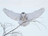 Snowy Owl (Bubo Scandiacus) Landing in a Tree and Hunting for Prey, Ontario, Canada Photographic Print by Glenn Bartley