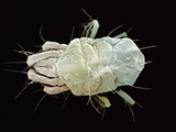 Spider Mite SEM X200 Photographic Print by Aaron Bell