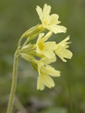 Oxlip (Primula Elatior) Wild Flowers, Hohe Tauern National Park, Austria Photographic Print by Gary Cook