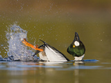 Common Goldeneye (Bucephala Clangula) Swimming in a Lagoon and Performing its Mating Display Photographic Print by Glenn Bartley