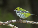 Speckled Tanager, Costa Rica Photographic Print by Glenn Bartley