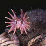 Star-Nosed Mole (Condylura Cristata) Inside Tunnel Photographic Print by Ken Catania
