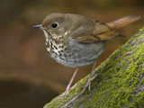 Hermit Thrush (Catharus Guttatus) Perched on a Branch in Victoria, British Columbia, Canada Photographic Print by Glenn Bartley