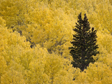 A Lone Conifer Tree in a Stand of Quaking Aspens in the Fall Photographic Print by Sean Bagshaw