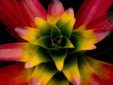 Tank Bromeliad, Costa Rica Photographic Print by Gregory Basco
