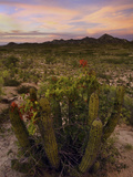 Bougainvillegrowing on an Organ Pipe Cactus (Stenocereus Thurberi) in the Desert at Sunset Photographic Print by David Cobb