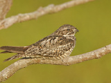 Anthony's Nightjar (Caprimulgus Anthonyi) Perched on a Branch Near the Coast of Ecuador Photographic Print by Glenn Bartley