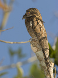 Common Potoo (Nyctibius Griseus), Costa Rica Photographic Print by Gregory Basco