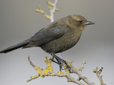 Brewer&#39;s Blackbird (Euphagus Cyanocephalus), Victoria, British Columbia, Canada Photographic Print by Glenn Bartley